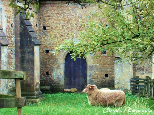 sheep in england
